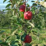 Dalinette apple