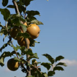 Renetta Grigia of Torriana apple