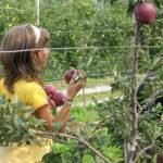 La raccolta delle mele